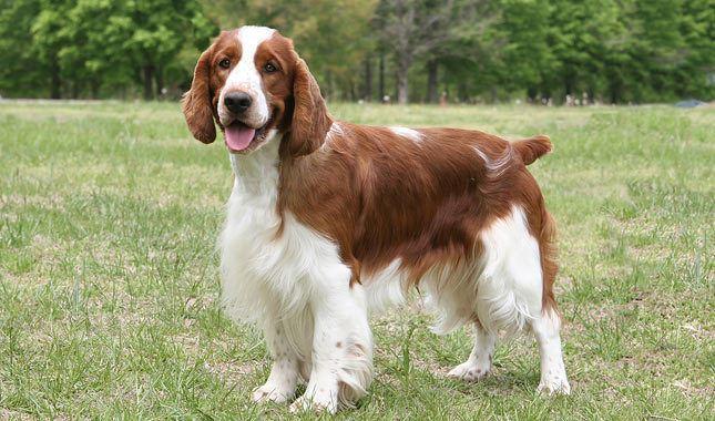 Welsh Springer Spaniel Welsh Springer Spaniel Dog Photos Doglers
