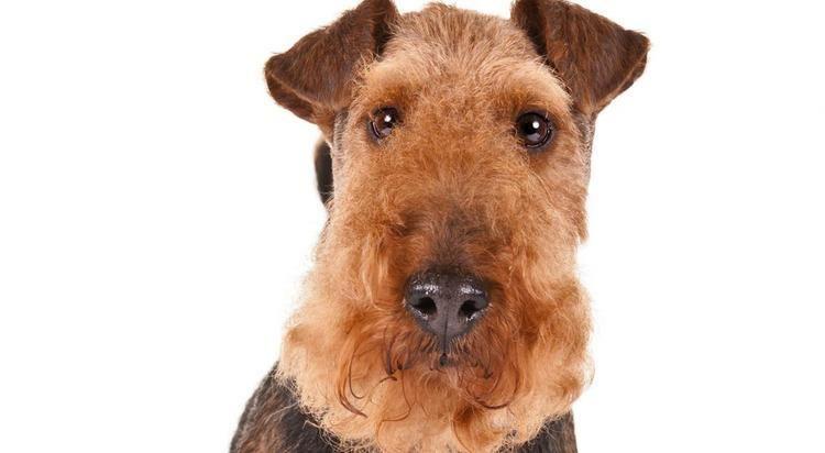 Welsh Terrier cdnakcorgakcdogloversWelshTerrierherojpg