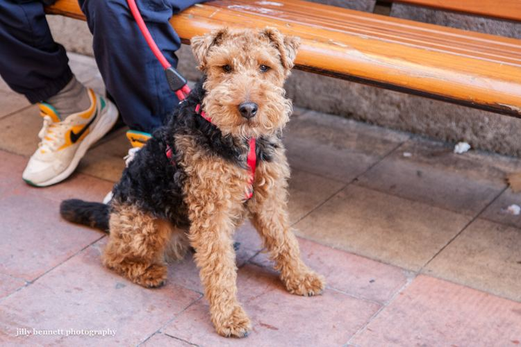 Welsh Terrier 17 Best images about Welsh Terriers on Pinterest Popsicles Toys