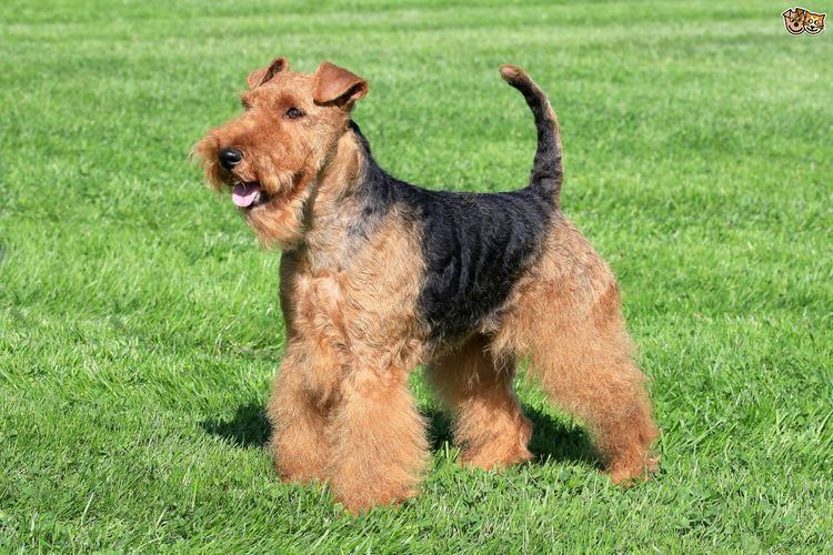 Welsh Terrier Is the Welsh terrier a good choice of pet Pets4Homes