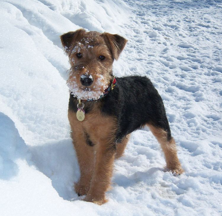 Welsh Terrier Welsh Terrier Breed Guide Learn about the Welsh Terrier