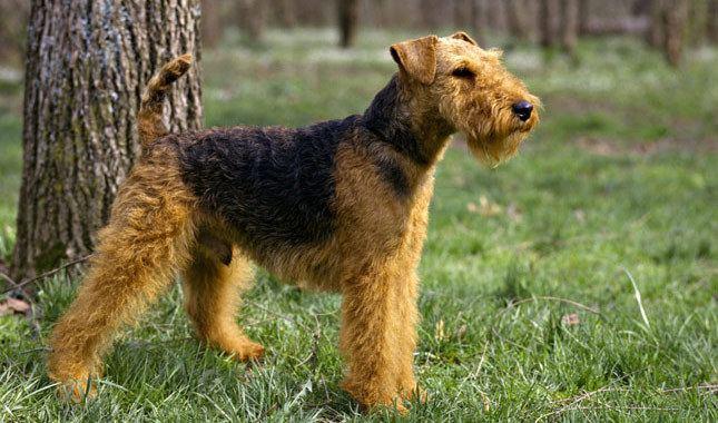 Welsh Terrier Welsh Terrier Dog Breed Information