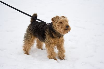 Welsh Terrier Welsh Terrier Dogs Welsh Terrier Dog Breed Info Pictures petMD