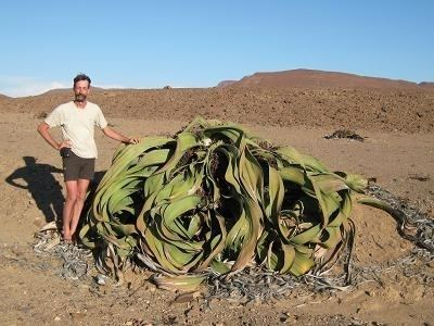Welwitschia CAUDICIFORM Welwitschia mirabilis