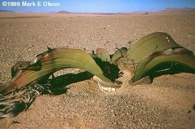 Welwitschia Welwitschia mirabilis Tree tumbo tumboa Welwitschiaceae
