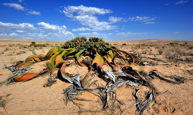 Welwitschia Welwitschia Mirabilis a photo from Erongo South TrekEarth