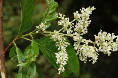 Wendlandia Wendlandia grandis Hookf Cowan nom superfl Species Bhutan