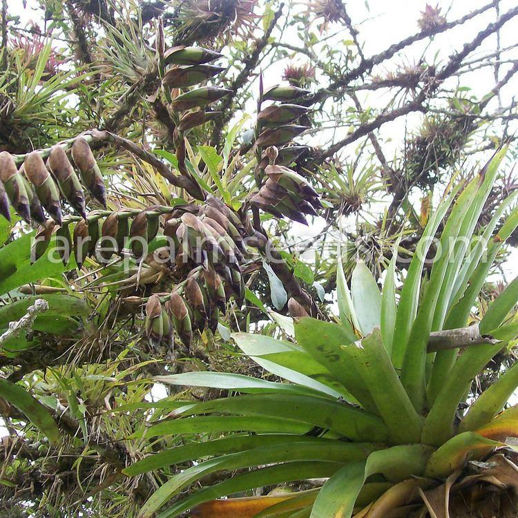 Werauhia Vriesea sanguinolenta Werauhia s buy seeds at rarepalmseedscom