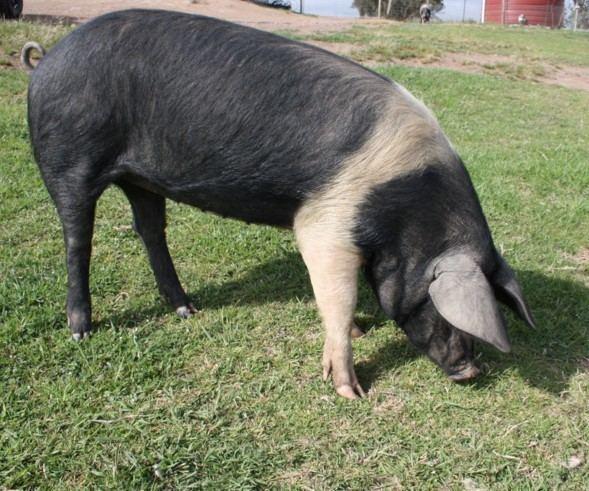 Wessex Saddleback Wessex Saddlebacks Morrigan Farm