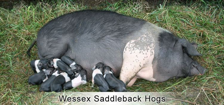 Wessex Saddleback Wessex Saddleback Hogs Maveric Heritage Ranch Co