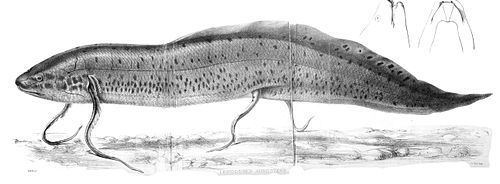 West African lungfish West African lungfish Wikipedia
