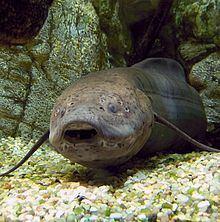 West African lungfish httpsuploadwikimediaorgwikipediacommonsthu
