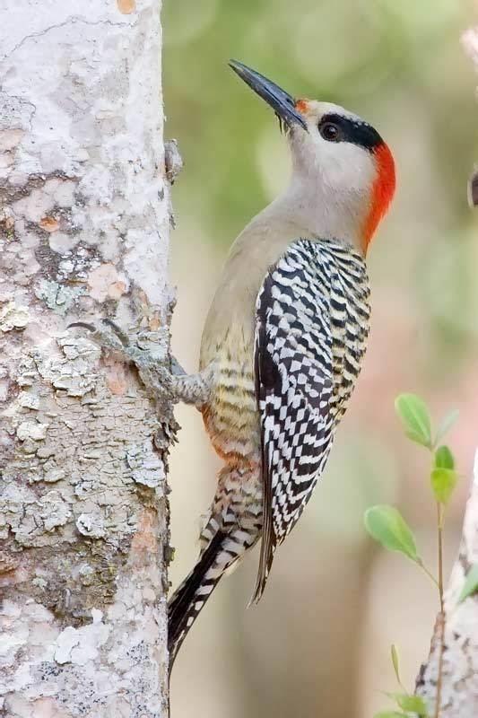 West Indian woodpecker wwwarthurgrossetcomsabirdsphotosmelsup12397jpg
