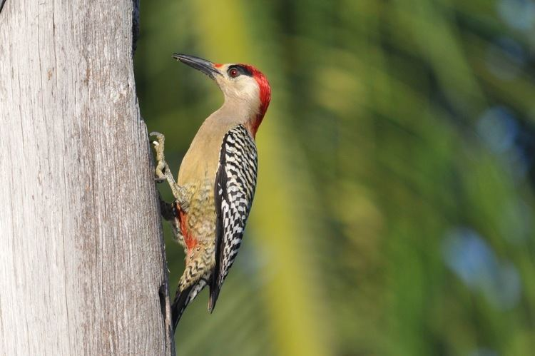 West Indian woodpecker Woodpeckers of the World Picid in Focus West Indian Woodpecker