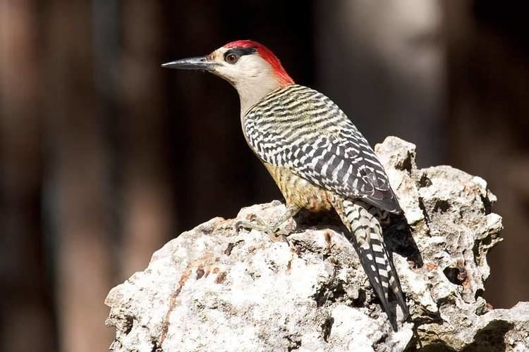 West Indian woodpecker West Indian Woodpecker Melanerpes superciliaris