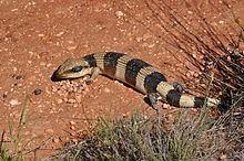 Western blue-tongued lizard httpsuploadwikimediaorgwikipediacommonsthu