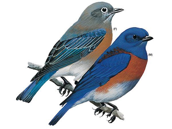 Western bluebird Western Bluebirds Western Bluebird Pictures Western Bluebird Facts