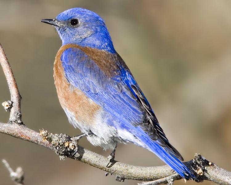 Western bluebird Western Bluebird Audubon Field Guide