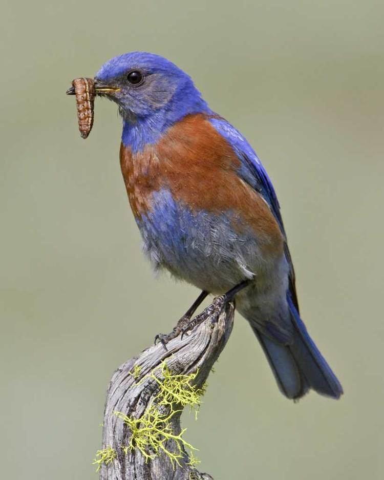 Western bluebird d2fbmjy3x0sduacloudfrontnetsitesdefaultfiles