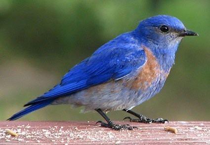 Western bluebird Western Bluebird Identification All About Birds Cornell Lab of