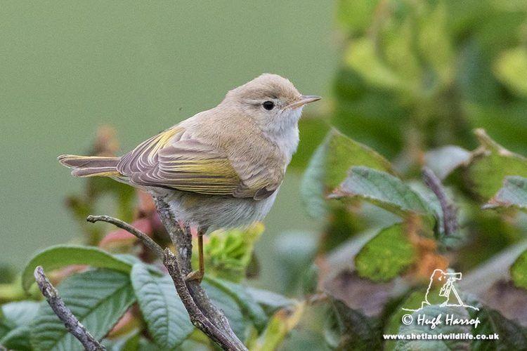 Western Bonelli's warbler Surfbirds Online Photo Gallery Search Results