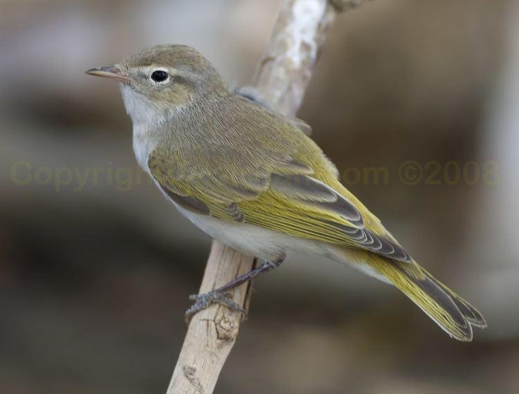 Western Bonelli's warbler Bird Sightings from Kuwait Page 63 of 87 Bird Sightings from