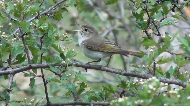 Western Bonelli's warbler Mosquitero papialbo Phylloscopus bonelli Western Bonelli39s Warbler