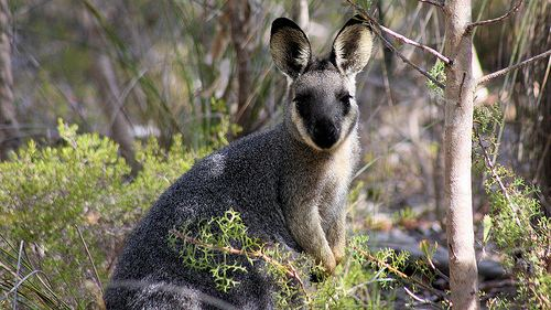 Western brush wallaby Flickriver Most interesting photos tagged with macropusirma