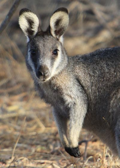 Western brush wallaby Mark Bundock photography Perth Australia Pricing amp Packages