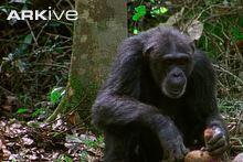 Western chimpanzee cdn2arkiveorgmediaCCCCC3CB483BF54AC5972CF