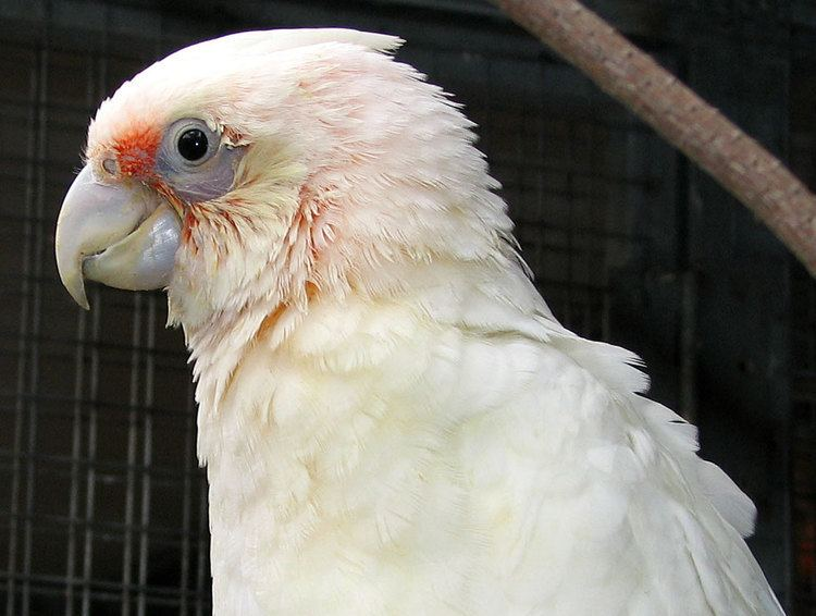 Western corella Western Corella Species Information from Priam Parrot Breeding