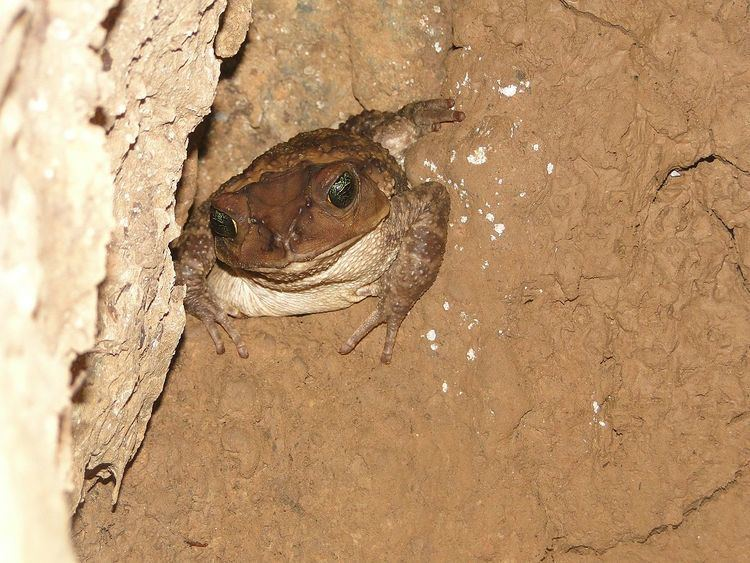 Western giant toad