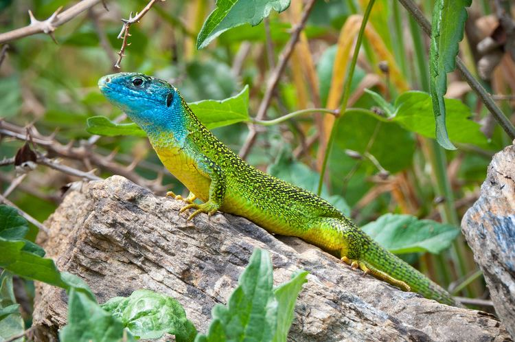 Western green lizard httpsc1staticflickrcom435015757702011e2fd