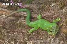 Western green lizard Western green lizard photo Lacerta bilineata G97060 ARKive