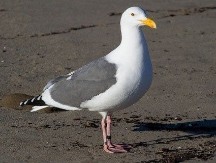 Western gull Western Gull Identification All About Birds Cornell Lab of