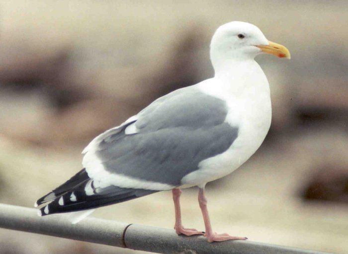Western gull Herring Gull vs Western Gull
