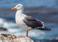 Western gull httpsuploadwikimediaorgwikipediacommonsthu