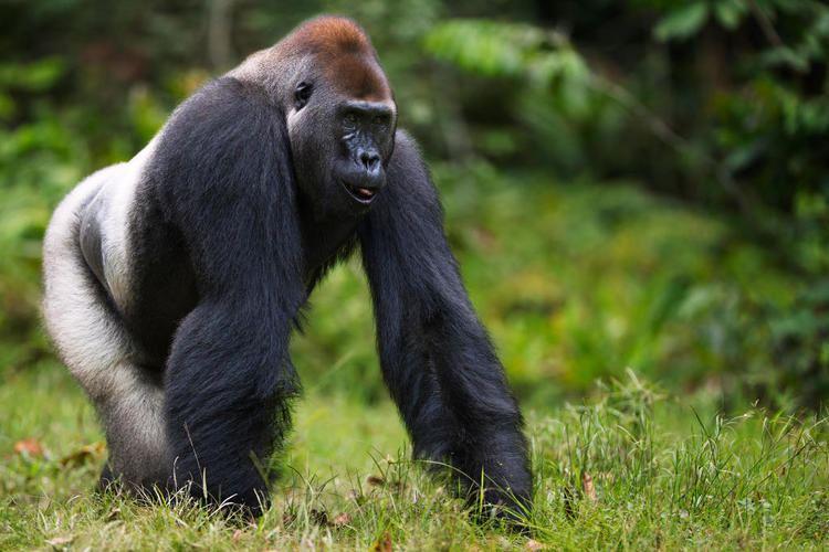 Western lowland gorilla Western Lowland Gorilla Endangered Species Animal Planet