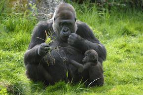 Western lowland gorilla Western Lowland Gorilla Species WWF