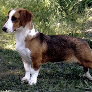 Westphalian Dachsbracke Westphalian Dachsbracke Breed Guide Learn about the Westphalian