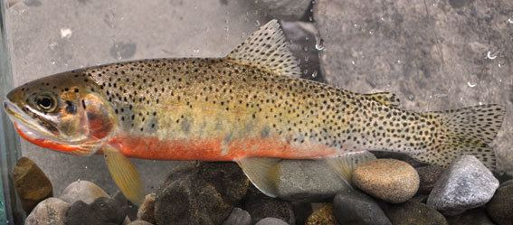 Westslope cutthroat trout Species at Risk Public Registry Recovery Strategy for the Alberta