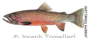 Westslope cutthroat trout Westslope Cutthroat Trout Montana Field Guide