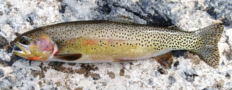 Westslope cutthroat trout Cutthroat Trout