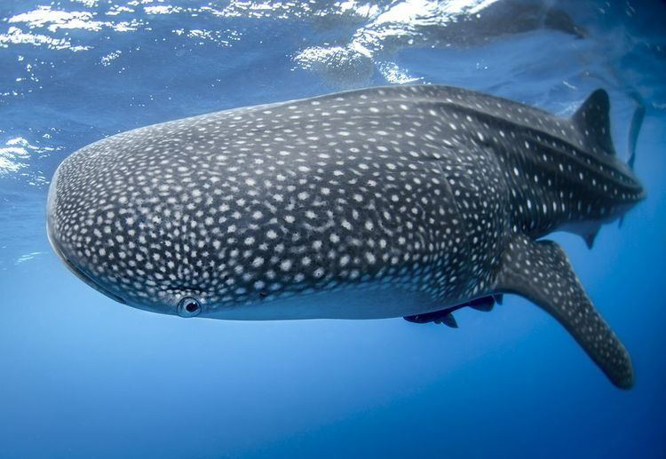 Whale shark Whale Sharks Whale Shark Pictures Whale Shark Facts National