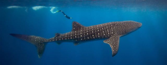 Whale shark Information about the Whale Shark The Nature Conservancy