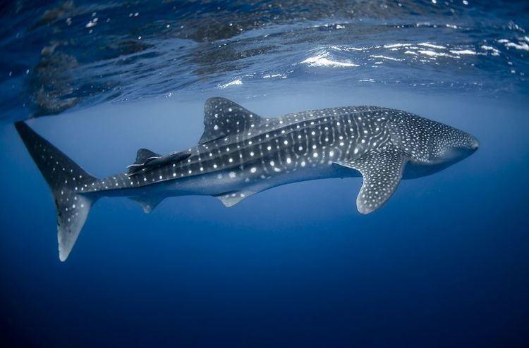 Whale shark yourshotnationalgeographiccomussfQYSUbVftsT7