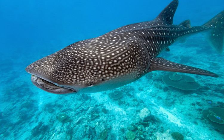 Whale shark Whale Shark Shark Facts and Information