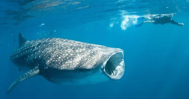 Whale shark Swim With Whale Sharks Exmouth Ningaloo Discovery