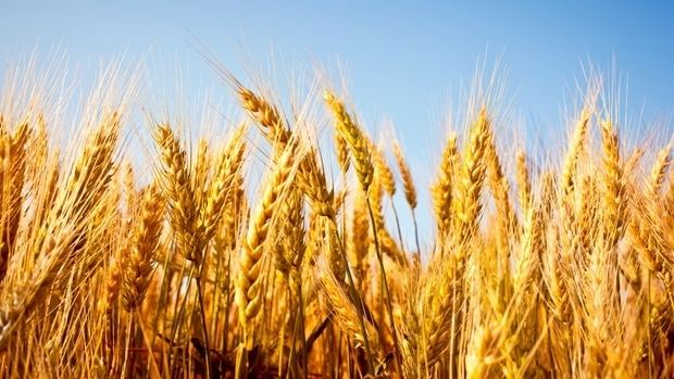 Wheat Why are we waging a war on wheat Health CBC News