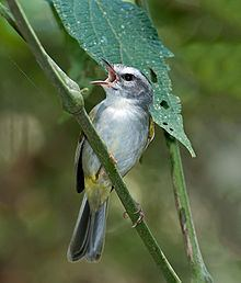 White-bellied warbler httpsuploadwikimediaorgwikipediacommonsthu